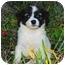 Photo 2 - Welsh Corgi/Papillon Mix Puppy for adoption in San Clemente, California - Sunshine