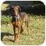 Photo 3 - Doberman Pinscher Mix Puppy for adoption in Montevallo, Alabama - Morgana