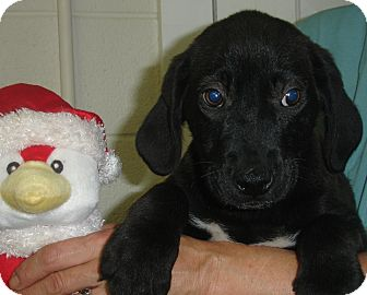 Labrador Retriever Mix Puppy for adoption in Old Bridge, New Jersey - Toro