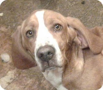 Basset Hound Puppy for adoption in Lexington, Kentucky - Kemper