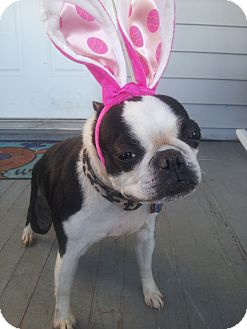 Boston Terrier Dog for adoption in Cumberland, Maryland - Susie