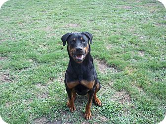 Rottweiler Mix Dog for adoption in Tampa, Florida - Magnus