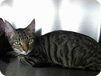 Domestic Shorthair Kitten for adoption in Mission Viejo, California - Willow