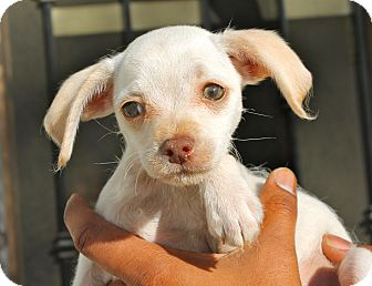 Chihuahua/Terrier (Unknown Type, Small) Mix Puppy for adoption in Los Angeles, California - Nils
