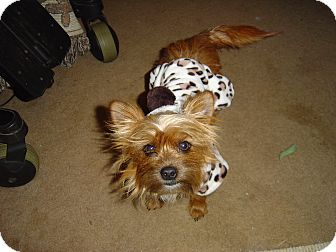 Yorkie, Yorkshire Terrier Dog for adoption in Excelsior SPRINGS, Missouri - ToTo