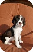 Springer Spaniel Mix Puppy for adoption in Fremont, Nebraska - Nick
