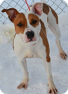 Pit Bull Terrier Mix Dog for adoption in Fruit Heights, Utah - Sunday