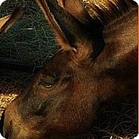 Adopt A Pet :: Gabriel - Farmersville, TX