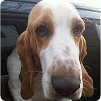 Adopt A Pet :: Ollie - Phoenix, AZ