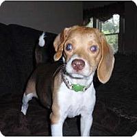 Adopt A Pet :: Lulu - Madison, WI
