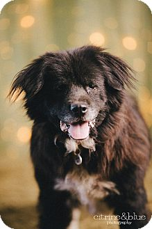 Chow Chow/Border Collie Mix Dog for adoption in Portland, Oregon - Sox