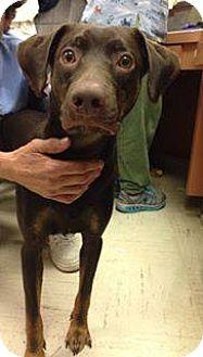 Doberman Pinscher/Labrador Retriever Mix Dog for adoption in Lima, Pennsylvania - Whisky