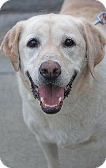 Labrador Retriever Mix Dog for adoption in Yuba City, California - Dolly