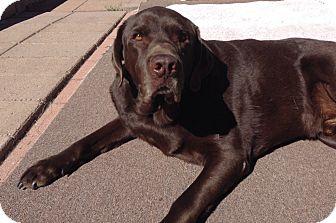 Labrador Retriever Dog for adoption in Phoenix, Arizona - Bear