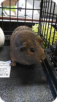 Guinea Pig for adoption in Hamden, Connecticut - Jamie