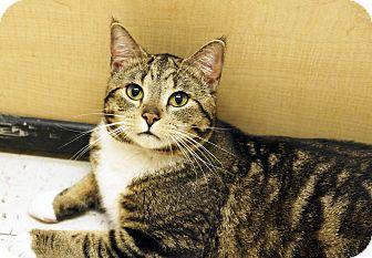 Domestic Shorthair Cat for adoption in Kensington, Connecticut - Dezi