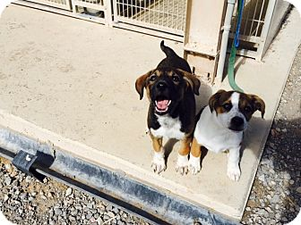 Hound (Unknown Type) Mix Puppy for adoption in Edgewood, New Mexico - Ike