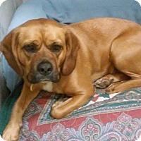 Adopt A Pet :: Nina Rose - Franklin, NH