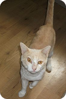 """Domestic Shorthair Cat for adoption in Plano, Texas - ALIEN - """"OUT OF THIS WORLD!"""""""