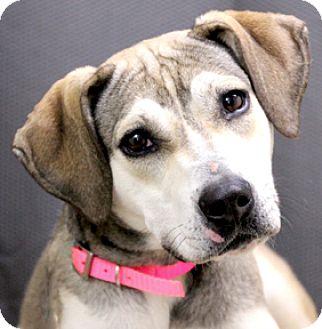 Husky/Hound (Unknown Type) Mix Puppy for adoption in Hardinsburg, Kentucky - GRACIE