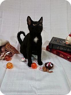 Domestic Shorthair Kitten for adoption in Homewood, Alabama - Pluto