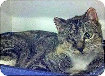 Domestic Shorthair Cat for adoption in Manhattan, New York - One-Eyed-Cat