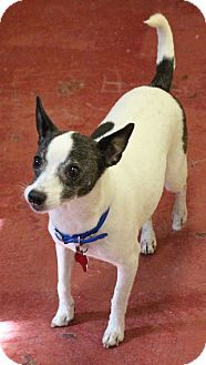 Rat Terrier Mix Dog for adoption in New Orleans, Louisiana - Isabelle