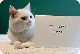 Domestic Shorthair Cat for adoption in Nashville, Tennessee - Samson B