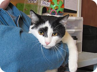 Domestic Shorthair Cat for adoption in Grinnell, Iowa - Les