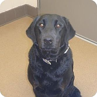 Labrador Retriever Dog for adoption in Las Vegas, Nevada - Abby Mae