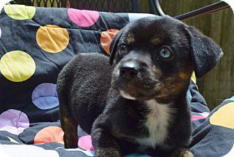 Labrador Retriever/Boxer Mix Puppy for adoption in Nashville, Tennessee - PORSHA