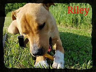 Labrador Retriever/Pit Bull Terrier Mix Dog for adoption in Old Saybrook, Connecticut - Riley