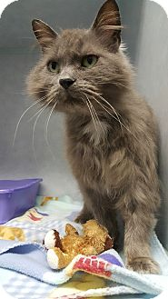 Domestic Mediumhair Cat for adoption in Cody, Wyoming - Scraggle Muffin