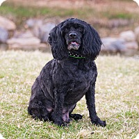 Cocker Spaniel/Poodle (Miniature) Mix Dog for adoption in Washoe Valley, Nevada - Frisky
