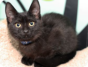 Domestic Shorthair Kitten for adoption in Royal Oak, Michigan - BAGHEERA