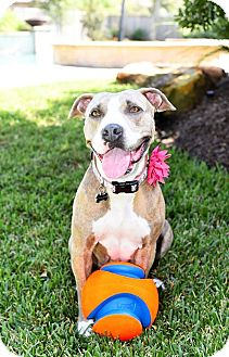 Pit Bull Terrier Mix Dog for adoption in Tomball, Texas - Maggie May