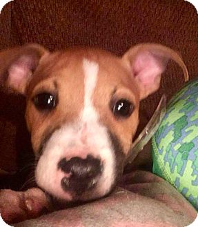 Boxer Mix Puppy for adoption in Portsmouth, New Hampshire - Rogue-adoption pending