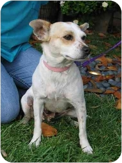 Terrier (Unknown Type, Small)/Chihuahua Mix Dog for adoption in Simi Valley, California - Betsy