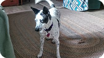 Australian Cattle Dog Mix Dog for adoption in Manhattan, Kansas - Lil Sheyla