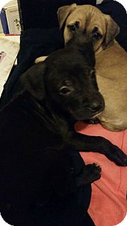 Mountain Cur/Mixed Breed (Medium) Mix Puppy for adoption in Tiptonville, Tennessee - Buster