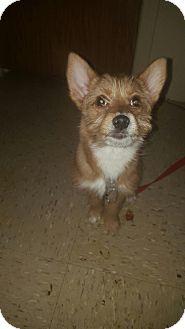 Pomeranian/Wirehaired Fox Terrier Mix Puppy for adoption in staten Island, New York - Mulan