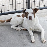 American Pit Bull Terrier Mix Dog for adoption in Fulton, Missouri - Petey *Kentucky