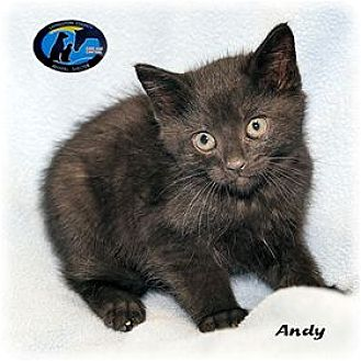 Domestic Mediumhair Kitten for adoption in Howell, Michigan - Andy