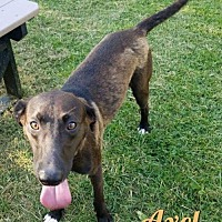 Adopt A Pet :: Axel - Harrisville, WV