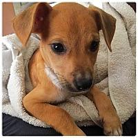 Adopt A Pet :: Josephine aka Josie - Royal Palm Beach, FL