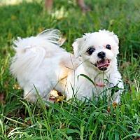 Shih Tzu Dog for adoption in Bealeton, Virginia - Thea