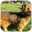 Photo 2 - Skye Terrier Mix Dog for adoption in Plainfield, Illinois - Winslow