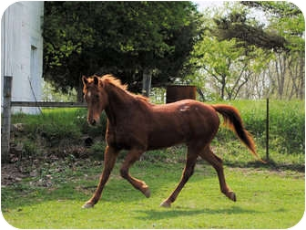 Quarterhorse Mix for adoption in Lyles, Tennessee - Chopper