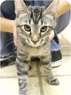 Domestic Mediumhair Kitten for adoption in Naples, Florida - Tony