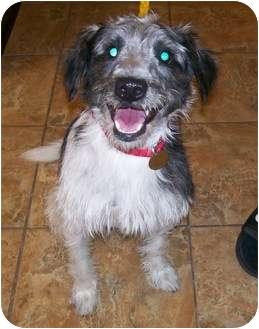 Schnauzer (Miniature)/Wirehaired Fox Terrier Mix Dog for adoption in Oak Ridge, New Jersey - Omar
